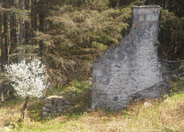 Draenen Ddu – Blackthorn – Shillelagh gan Wyn Rowlands (garddwr y Nant)